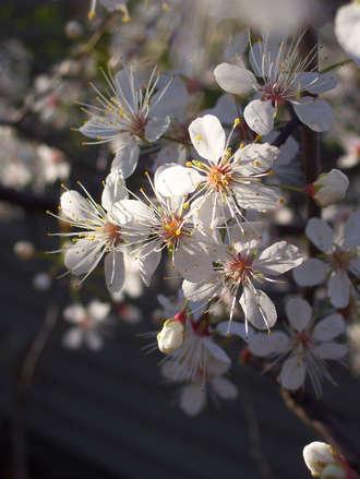 Blossomlight
