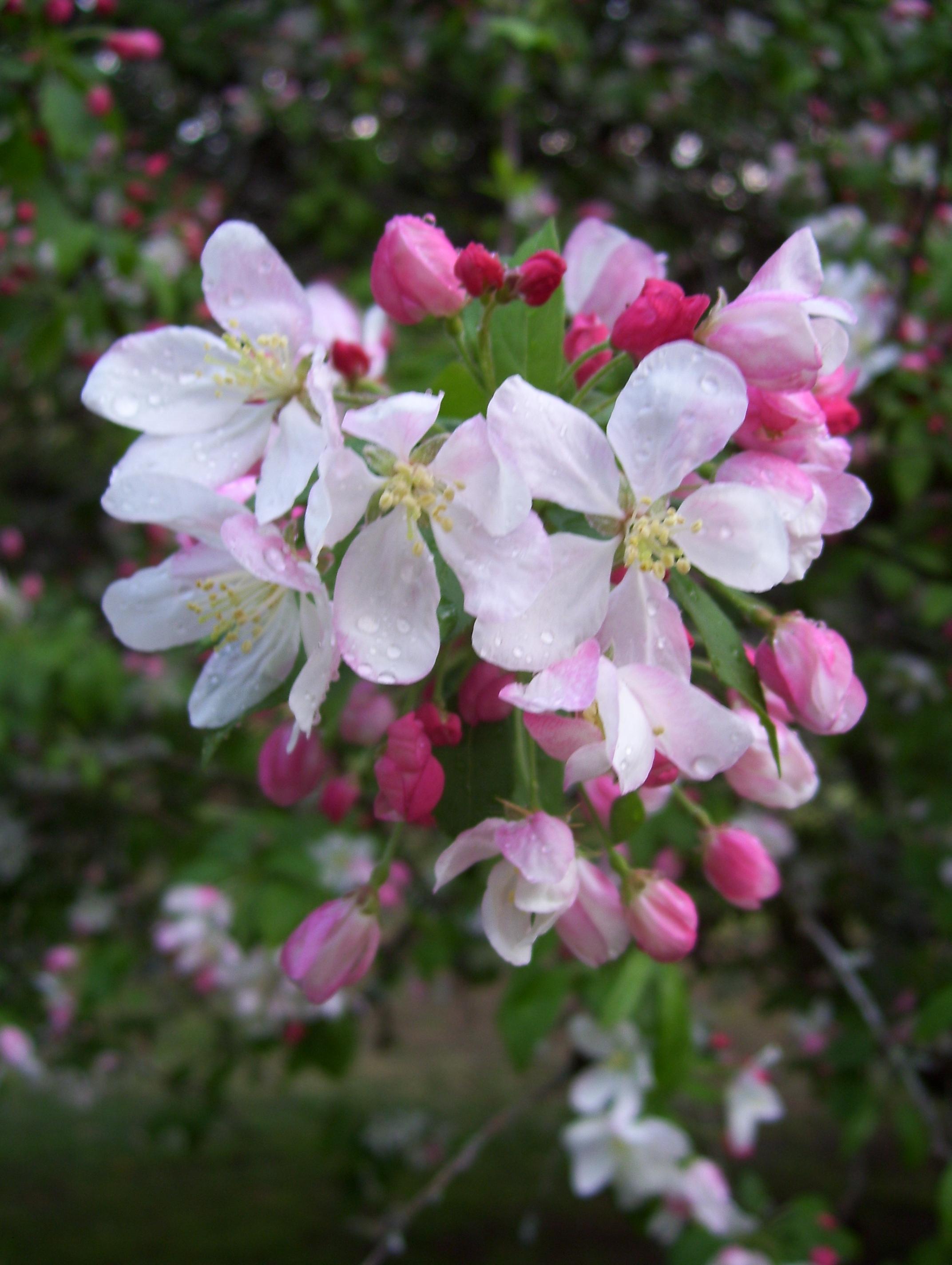 Spring Rainblossoms © Candy Paull