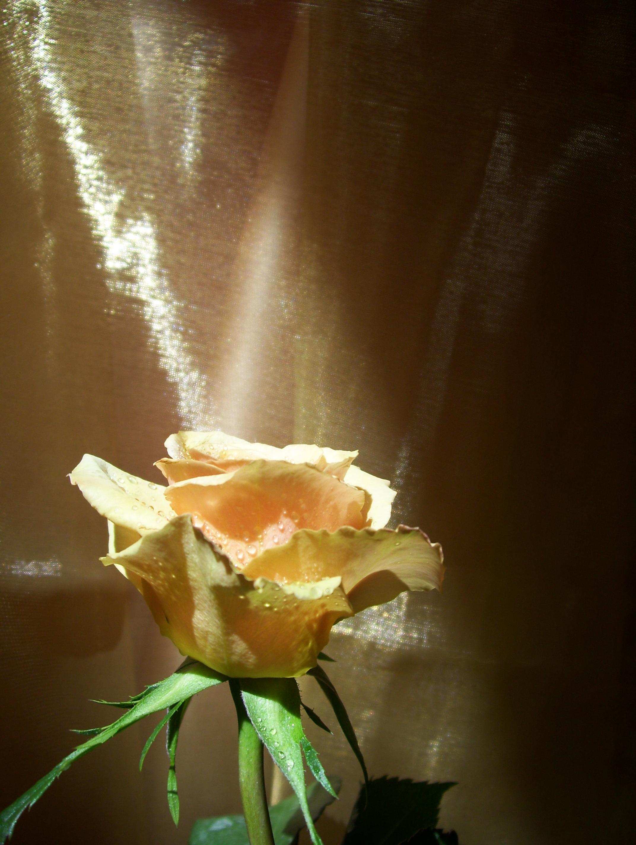Prayer Rose © Candy Paull