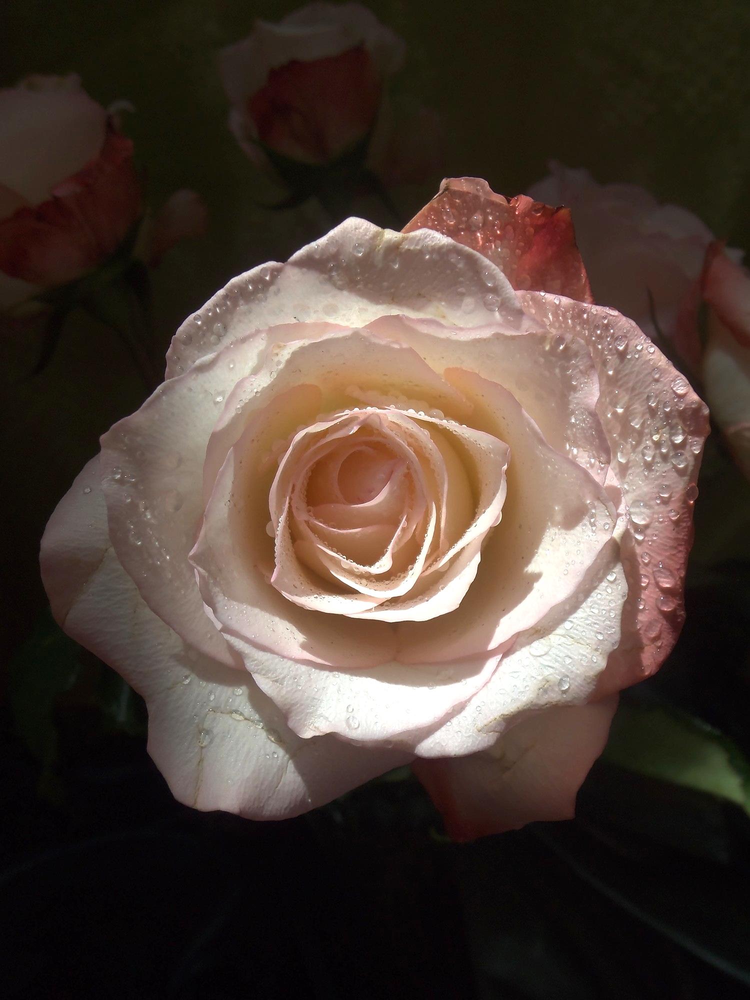 Roselight © Candy Paull