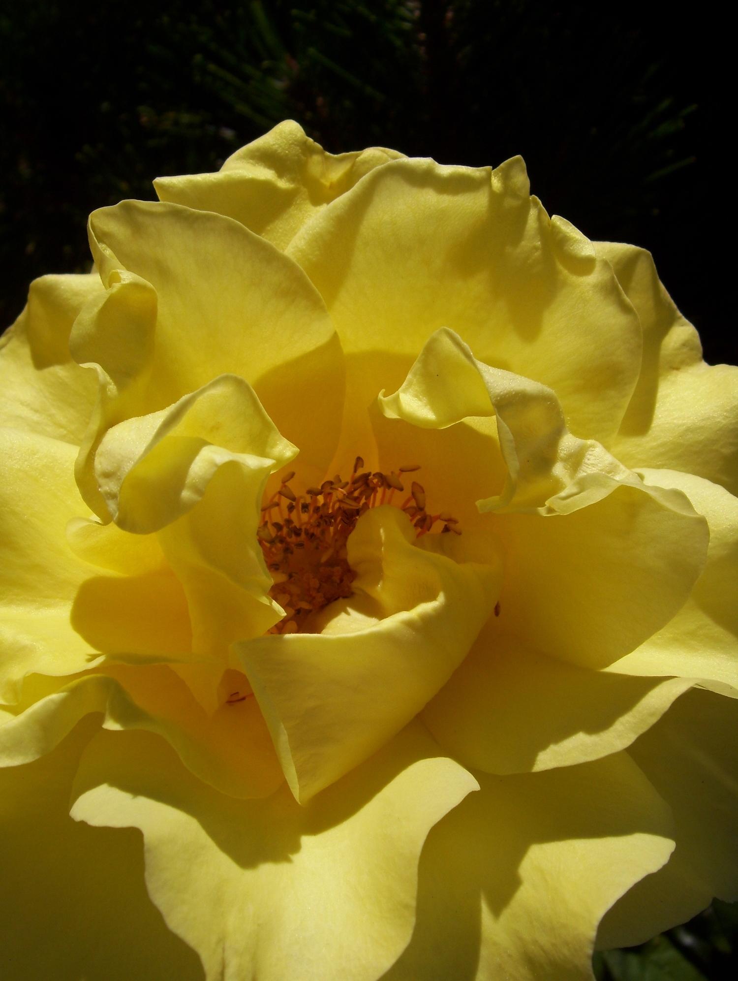 Seattle Summer Rose