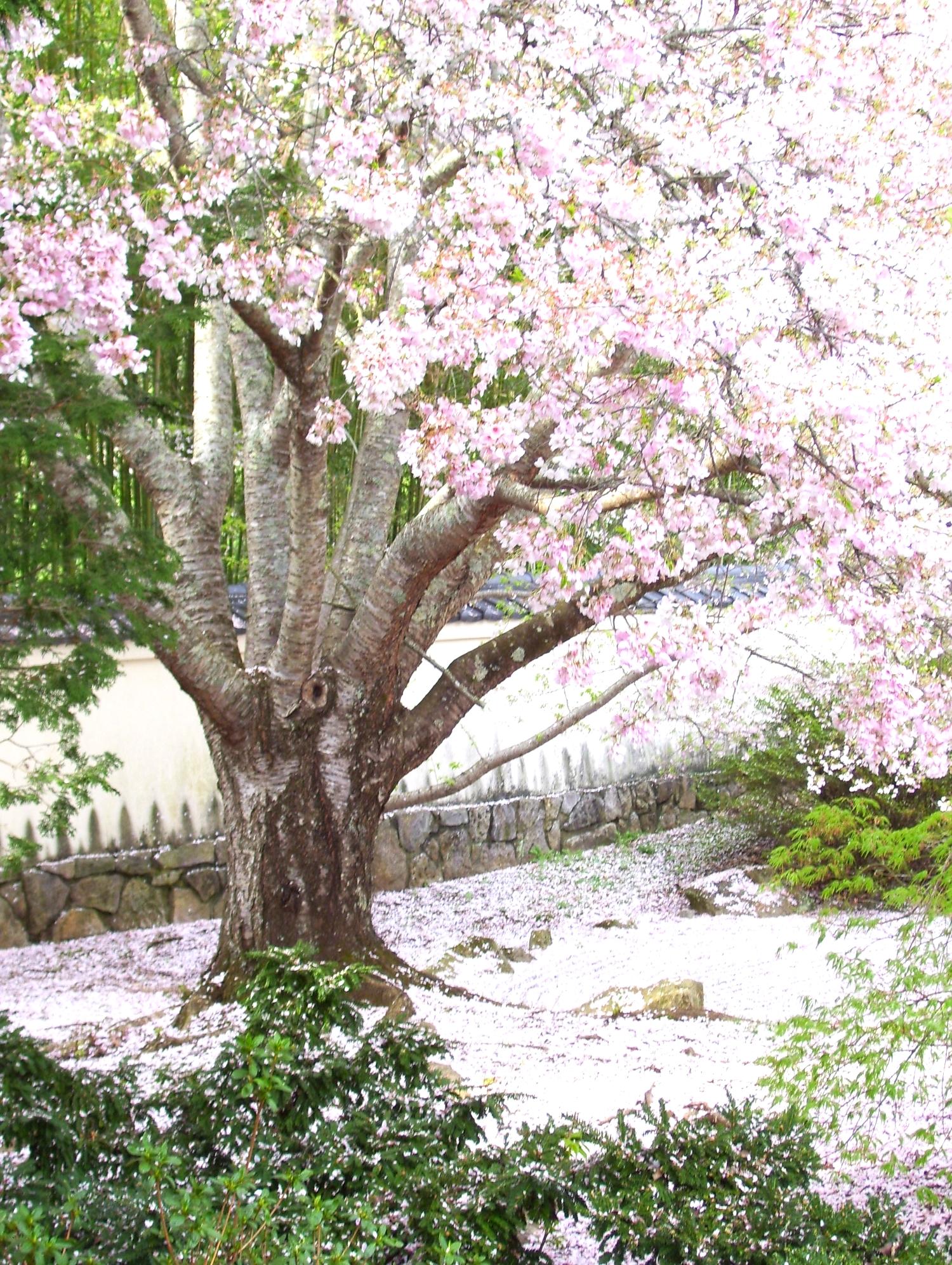 Cherry Blossom Blizzard