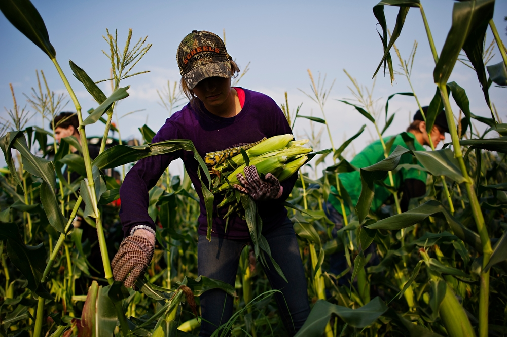 Madelynn Rhodes, 18 of Carlisle, picks corn at Penick's Sweet Corn stand on Highway 65/69 on Wednesday, July 1, 2015. Owner Mike Penick said the last storms that blew through town knocked some of the corn in his field over making it more difficult for pickers like Rhodes to pick.