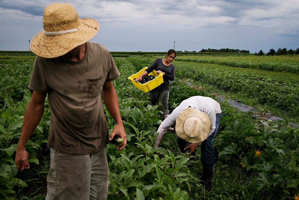 Andrew Dunham, left, Elias Bustos, 43 of Mexico, center, and Theresa Bustos, back, pick eggplant at Grinnell Heritage Farm in Grinnell on Tuesday, July 28, 2015. Dunham started converting his families farm to organic when he took it over in 2006 and is now one of the biggest multi vegetable farms in Iowa.