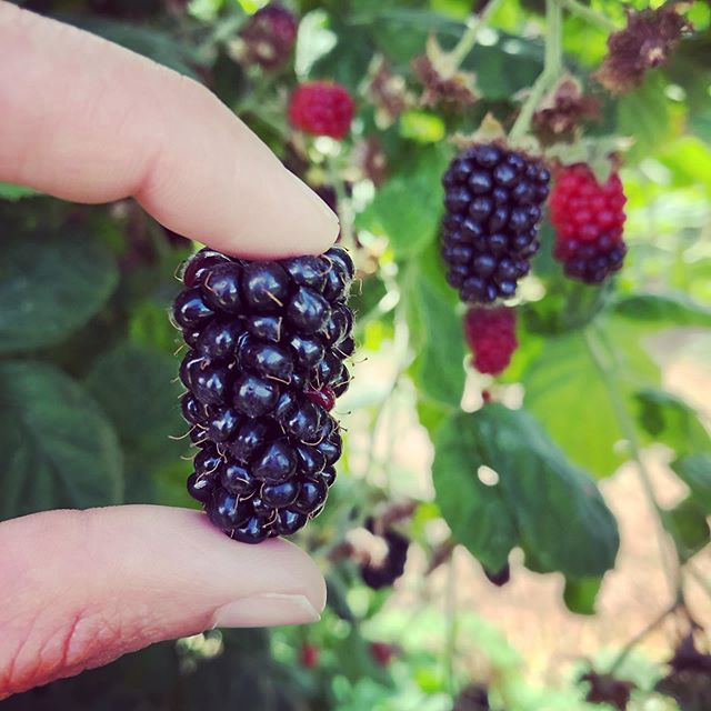 This is our last weekend for pre-picked marions, boysens, and raspberries! After Sunday, July 21st, we will only have pre-picked blueberries. All the other berries will be u-pick only! • Hours: 9am-5pm, Tuesday - Sunday CLOSED on Mondays ❤️NO ANIMALS ALLOWED❤️ U-pick rasp/blue/boysen/marion/blackberries: $2.50/pound Pre-picked rasp/blue/boysen/marion berries: $4.00/pound • • #columbiafarms #columbiafarmsupick #sauvieisland #pickyourown #raspberries #blueberries #boysenberries #marionberries #blackberries