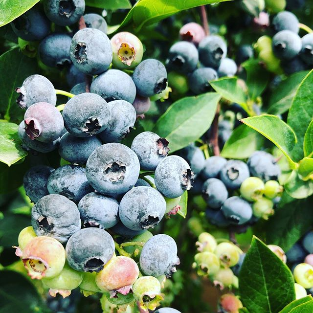 Blueberries lovers rejoice!!! Our blueberry plants are LOADED right now and picking is easy-peasy. The weather ☀️ is also perfect for a farm visit - not too hot and not too cold. Our last weekend being open for the summer is August 16-18 so come see us before the berries are done! (We also have a ton of thornless blackberries available for u-pick 😍) ✨ Hours: 9am-5pm, Friday - Sunday CLOSED: Monday - Thursday ❤️NO ANIMALS ALLOWED❤️ U-pick blue/blackberries: $2.50/pound Pre-picked blueberries: $4.00/pound • • #columbiafarms #columbiafarmsupick #sauvieisland #pickyourown #blueberries #blackberries