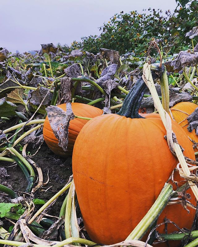 We're open and have the perfect pumpkin(s) for you to take home! 😍🎃✨ Hours: Friday - Sunday 9am - 5pm CLOSED: Monday - Thursday PRICES: - Pumpkins: sliding scale between $1.75-$6.75 each - Mini Gourds/Pumpkins: $0.75 each - Corn stalks: $6.00 per bundle - Straw bales: $8.50 each - Mums: $6.50 each • #columbiafarms #columbiafarmsupick #columbiafarmssauvieisland #sauvieisland #pumpkinseason