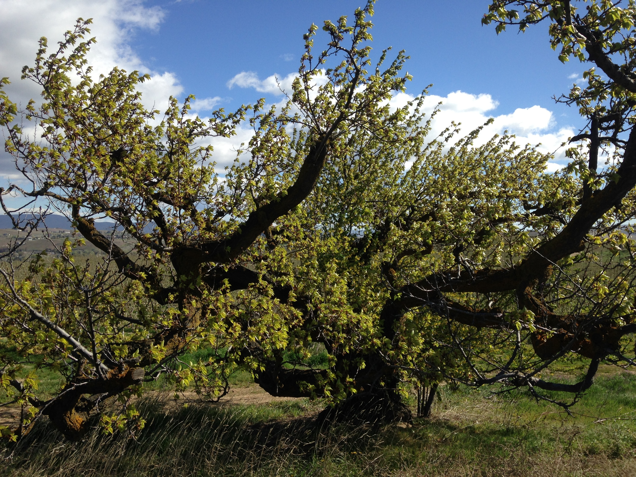 """100 year-old """"cot"""" tree. Apricot Tree, plantedc 1915. Naches Heights Road."""