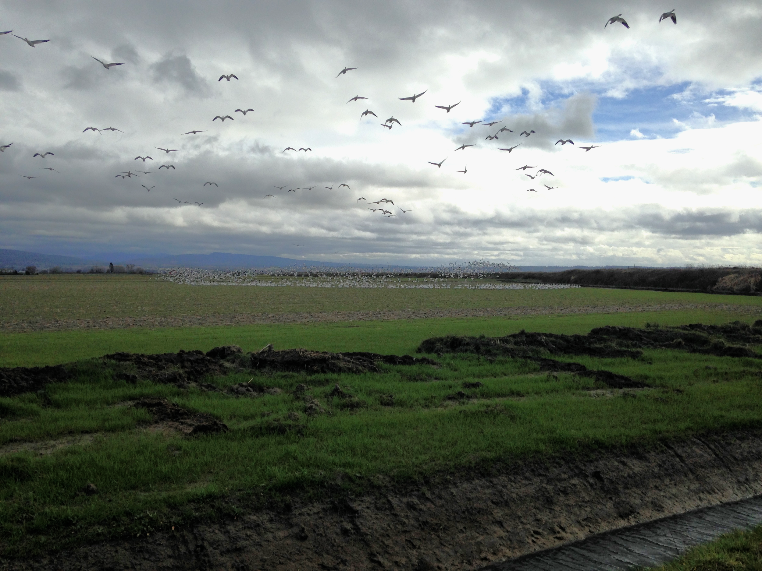 A group of snow geese are startled. The entire flock, approximately 2,000 birds are in the group, take to the skies to join their friends on the other side of the irrigation ditch. The squawking of the birds was extra loud as they flew overhead.