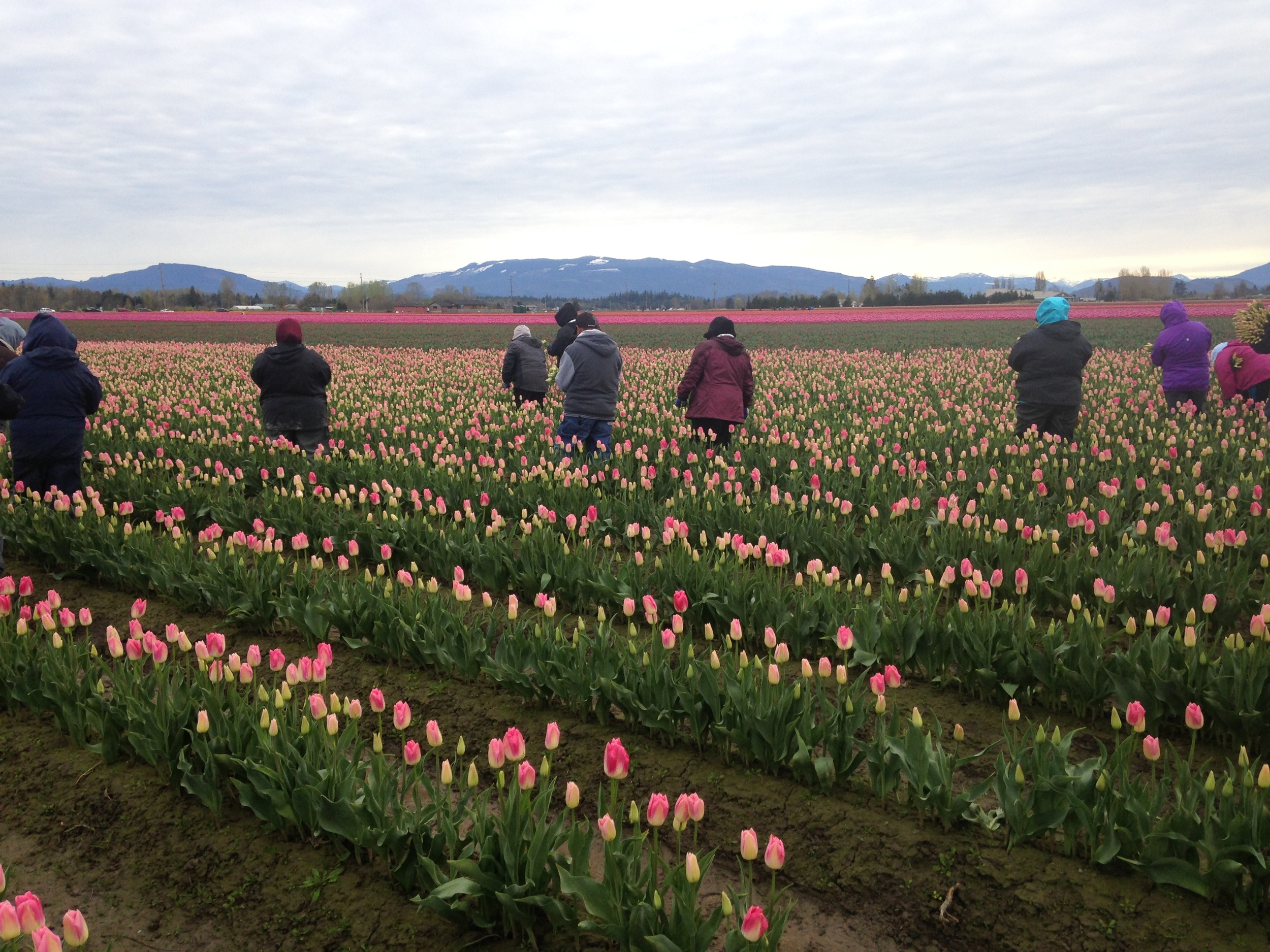 In unison, the workers advance, slowly, rhythmically. Reaching over, gently snipping the bottoms of the tulip stems.