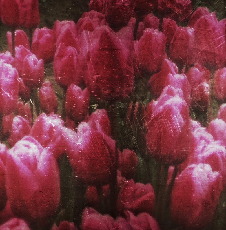 """You're strictly a tulip girl -- a red tulip girl.""  Alyson Noel"