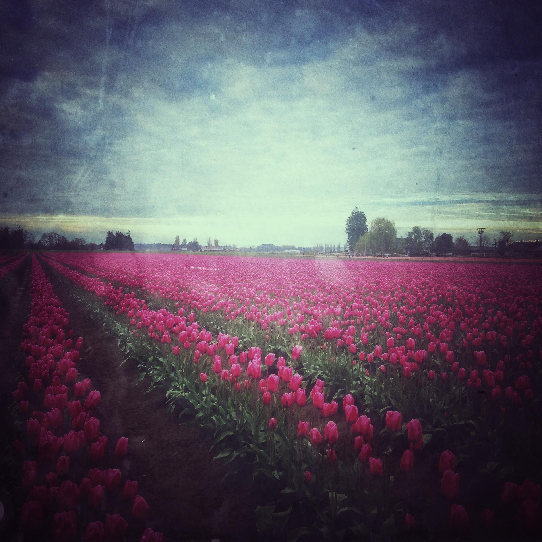 Deep pinkish red tulips.