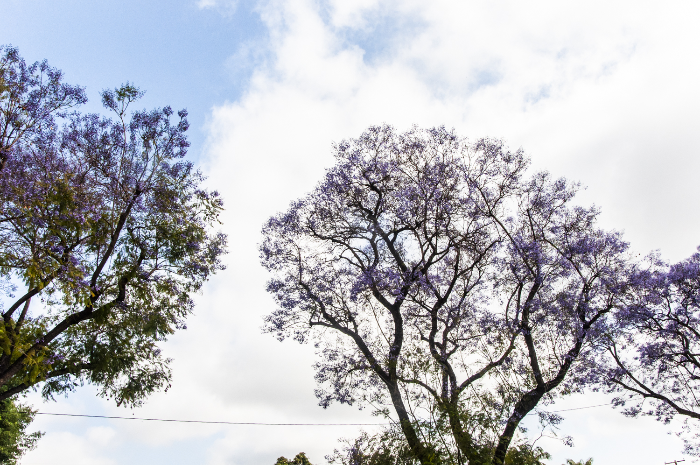 Jacaranda_04.jpg