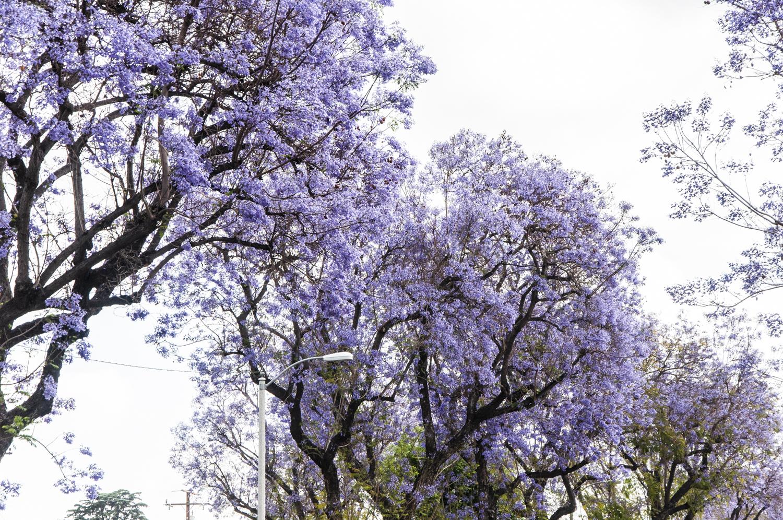 Jacaranda_08.jpg
