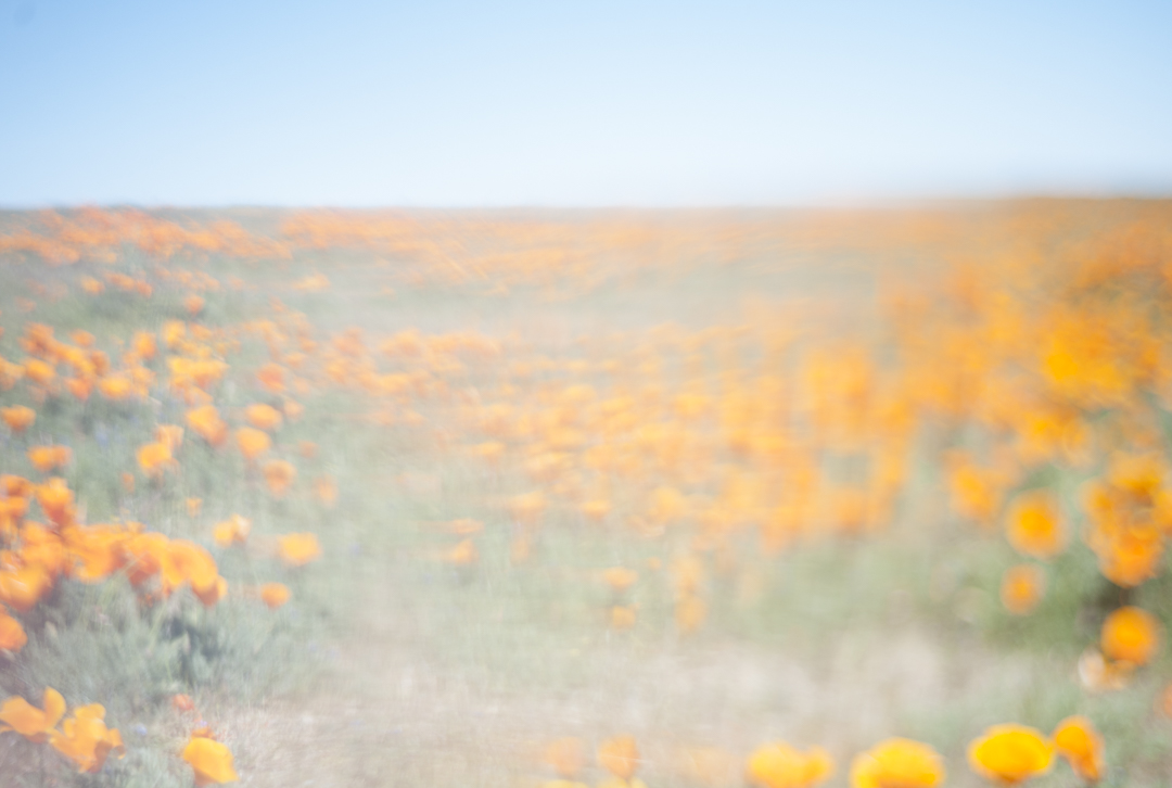 Poppy , Antelope Valley