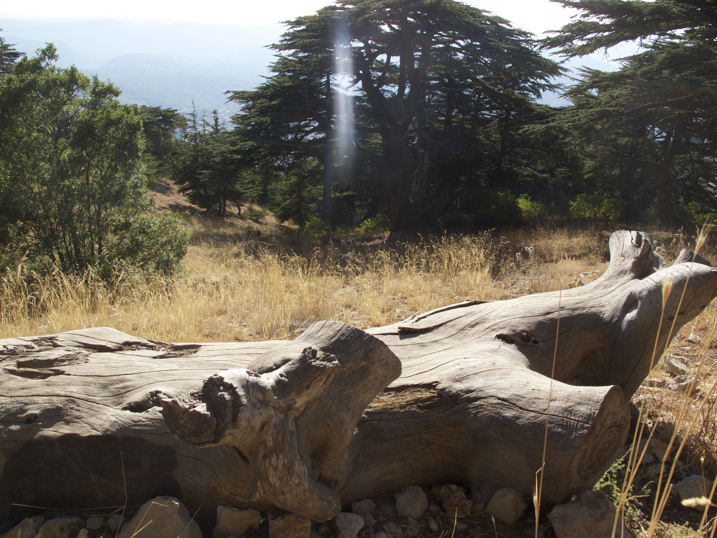 Ancient Cedar forests of Shouf, Lebanon.