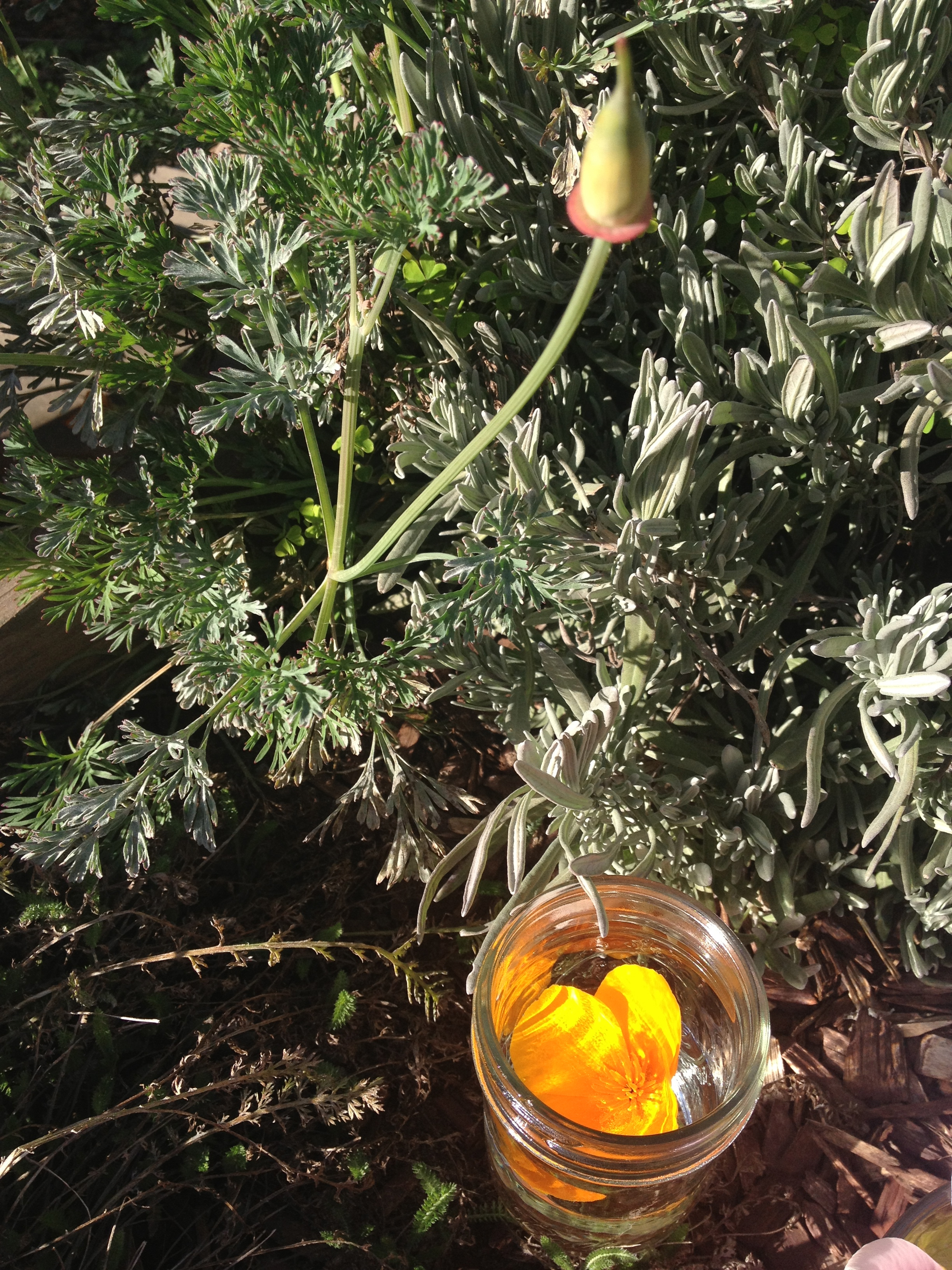 California Poppy flower essence in the making.