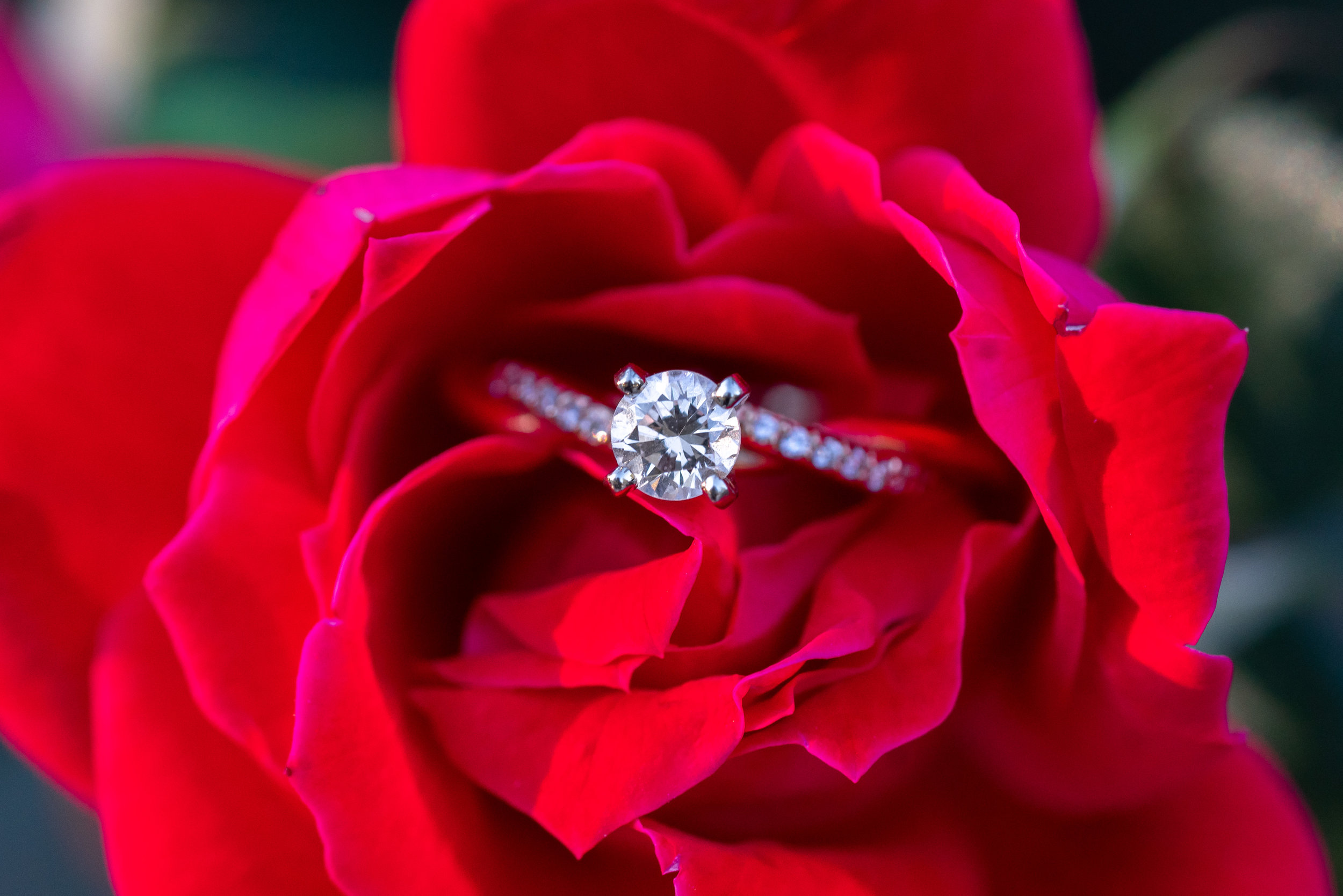 Round solitaire engagement ring in a red rose at Federal Hill Park in Baltimore