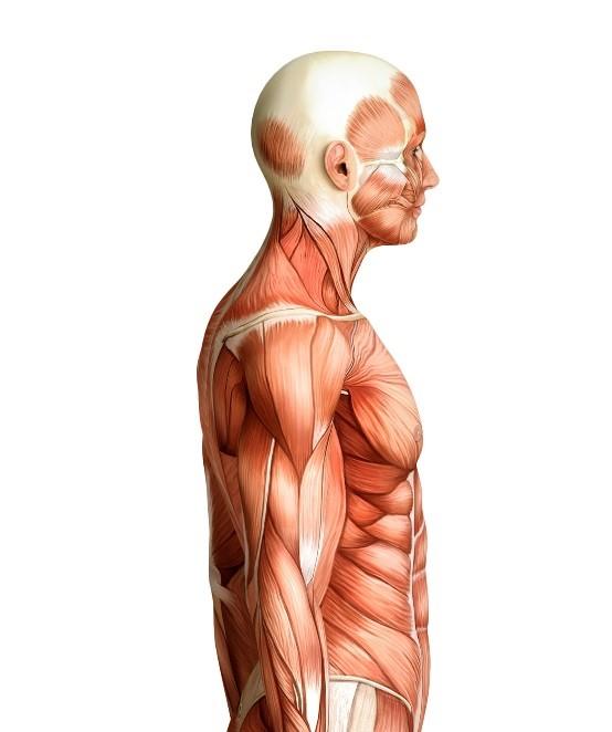 Upper body side.jpg