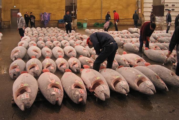 Tonfisk i långa rader på fiskmarknaden i Tsukiji - världens största. Nu kommer den titeln att övertas av en ny anläggning i Toyosu, några kilometer från Tsukiji.  Foto: Fisherman, Creative Commons license