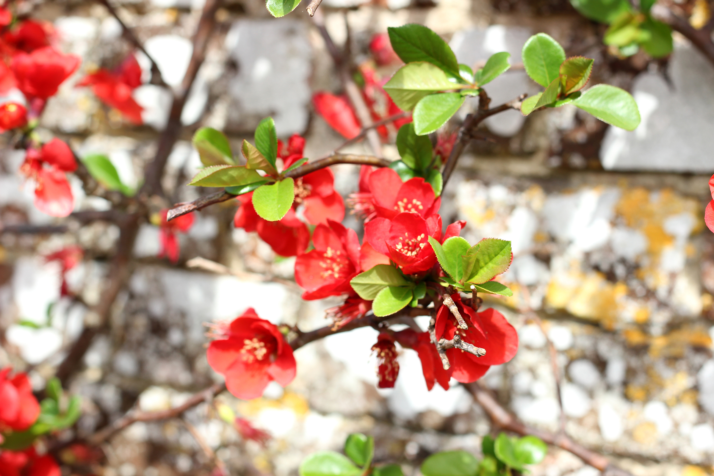Chaenomeles x speciosa or Japanese quince 'Moerloosei'.