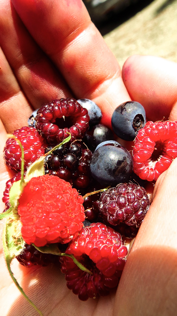Berry picking is an appropriate rest day activity!