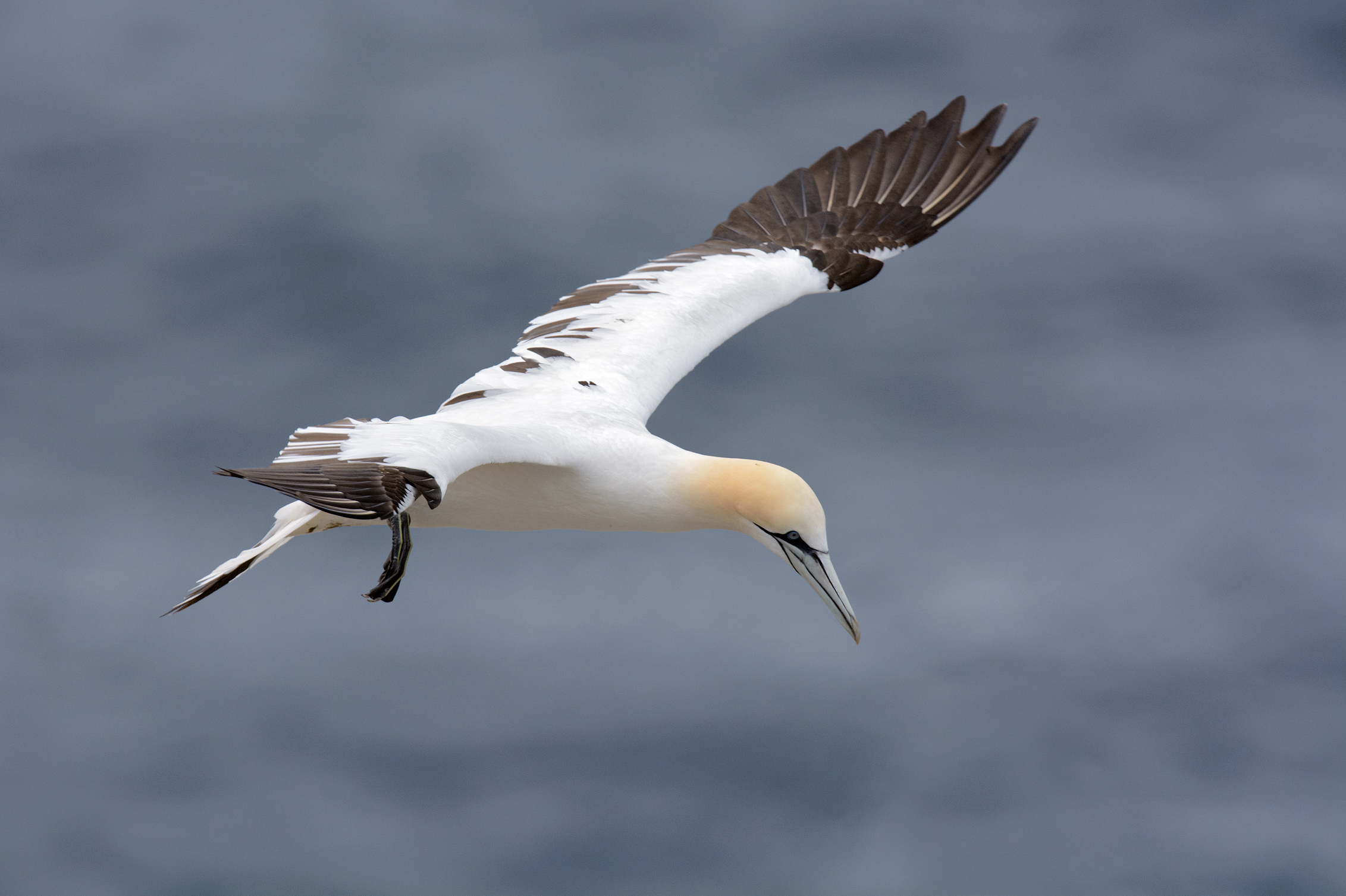 This one still has a few dark feathers in its wings. Gannets will reach full plumage in their fourth to fifth year
