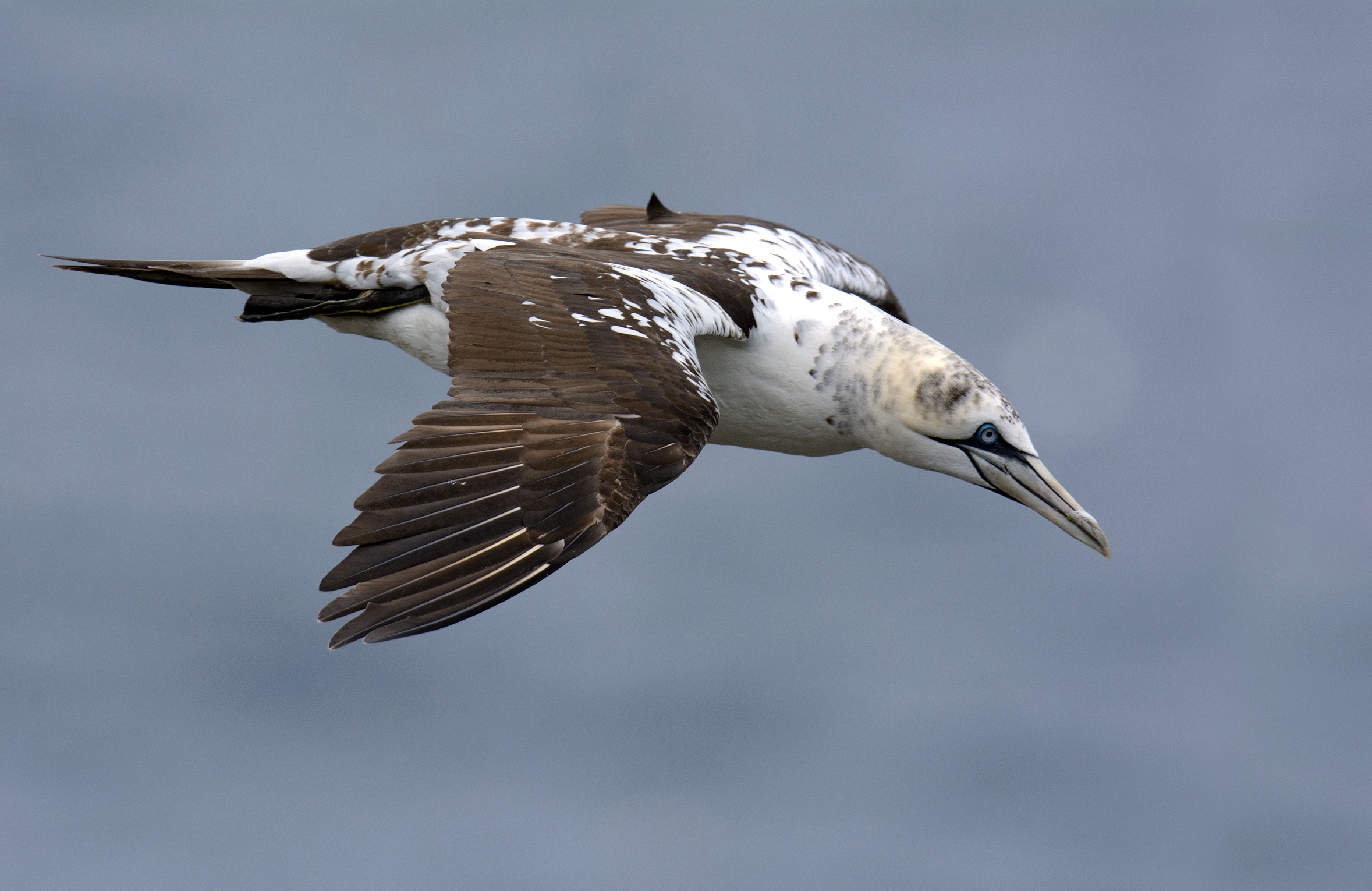 Here is a young gannet still displaying many dark spots throughout. This is probably a second year bird.
