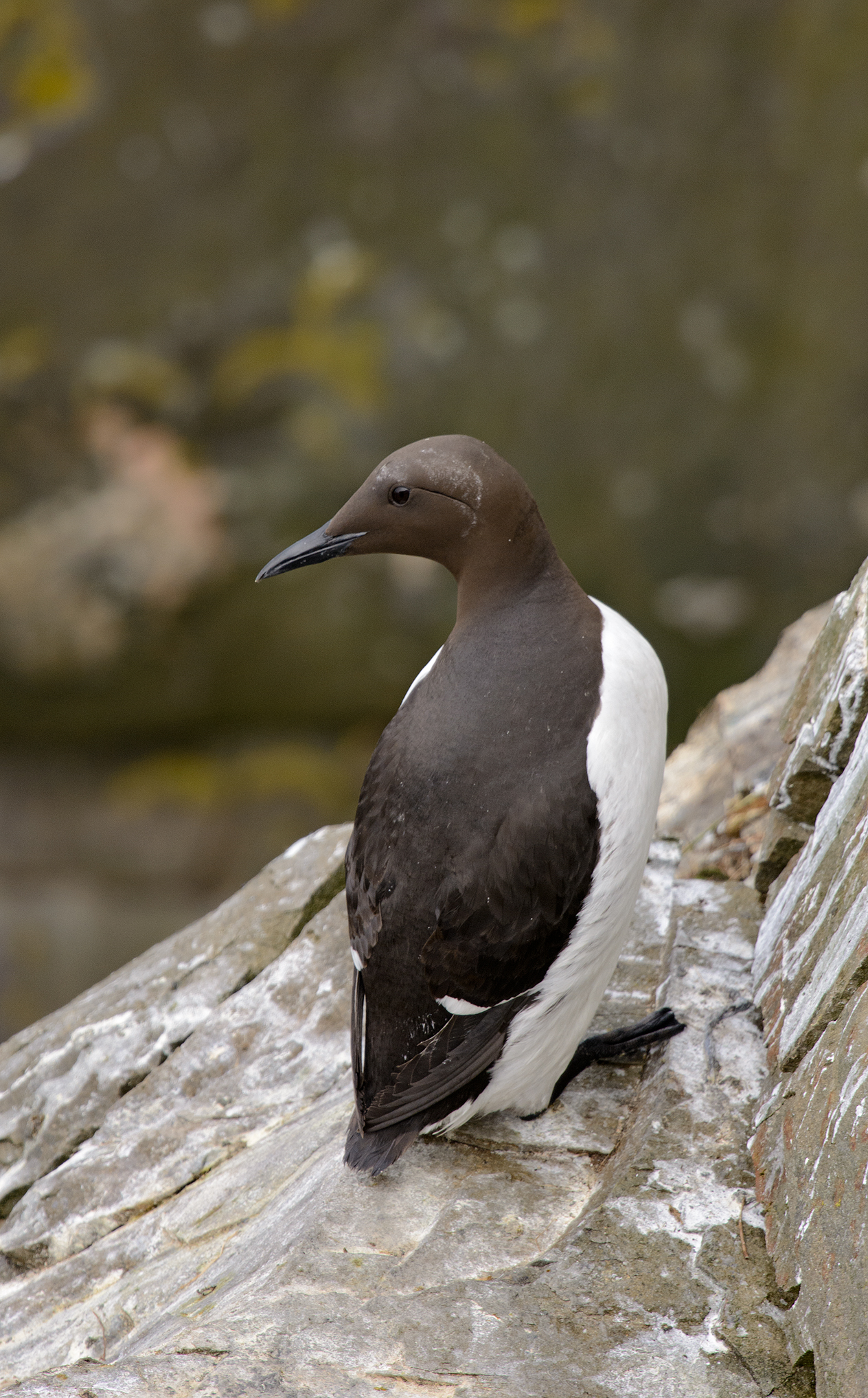 This is a Common Murre looking for its mate