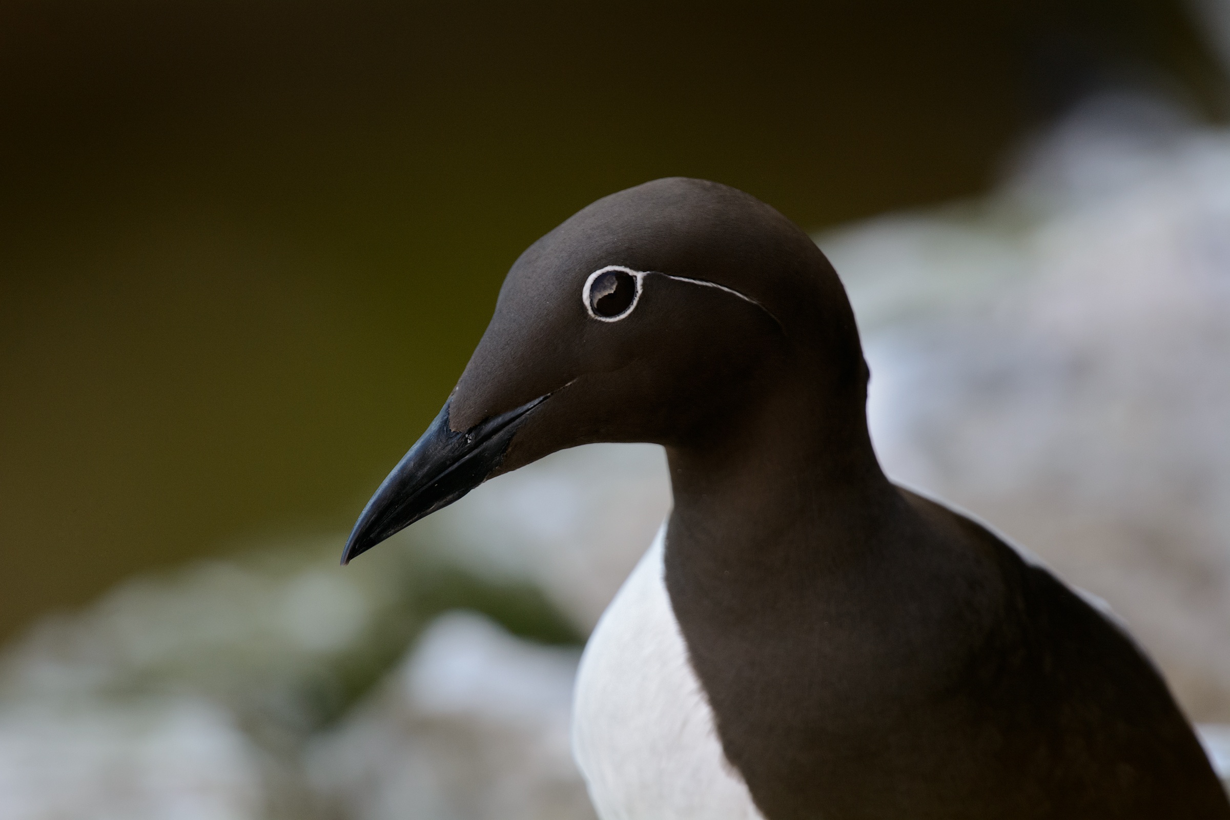 An up close shot of a Common Murre displaying its beautiful white eye design called a Bridle.