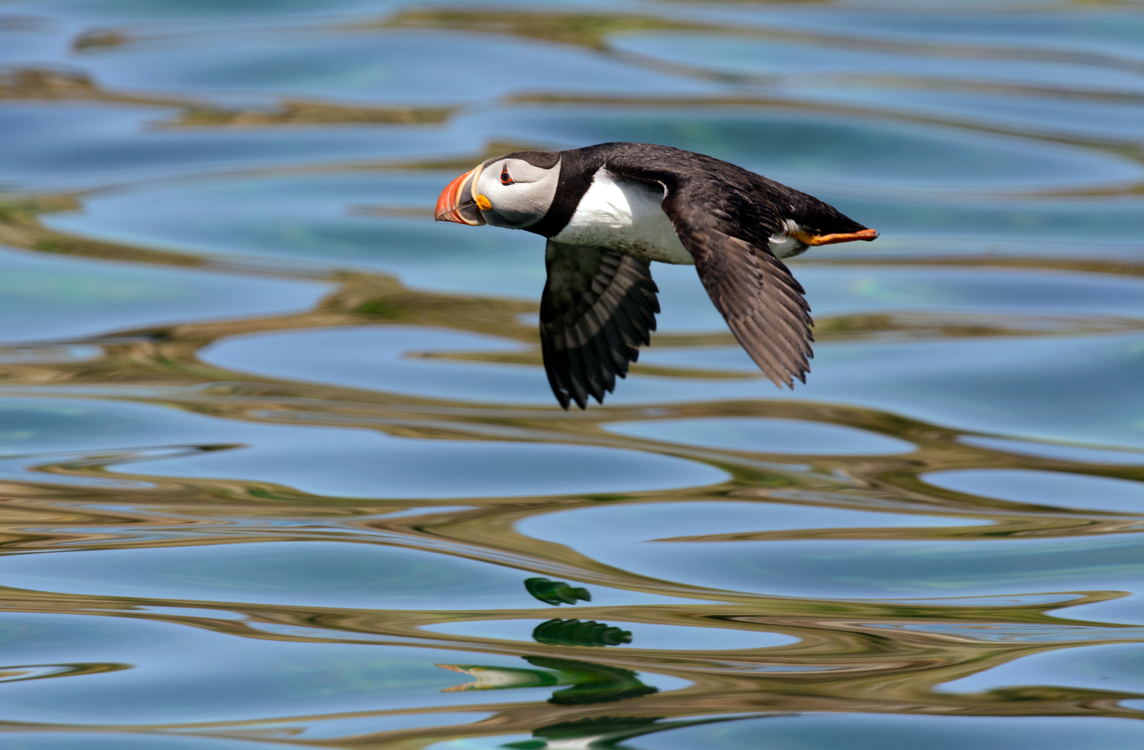 2014_AtlanticPuffin_July_23.jpg