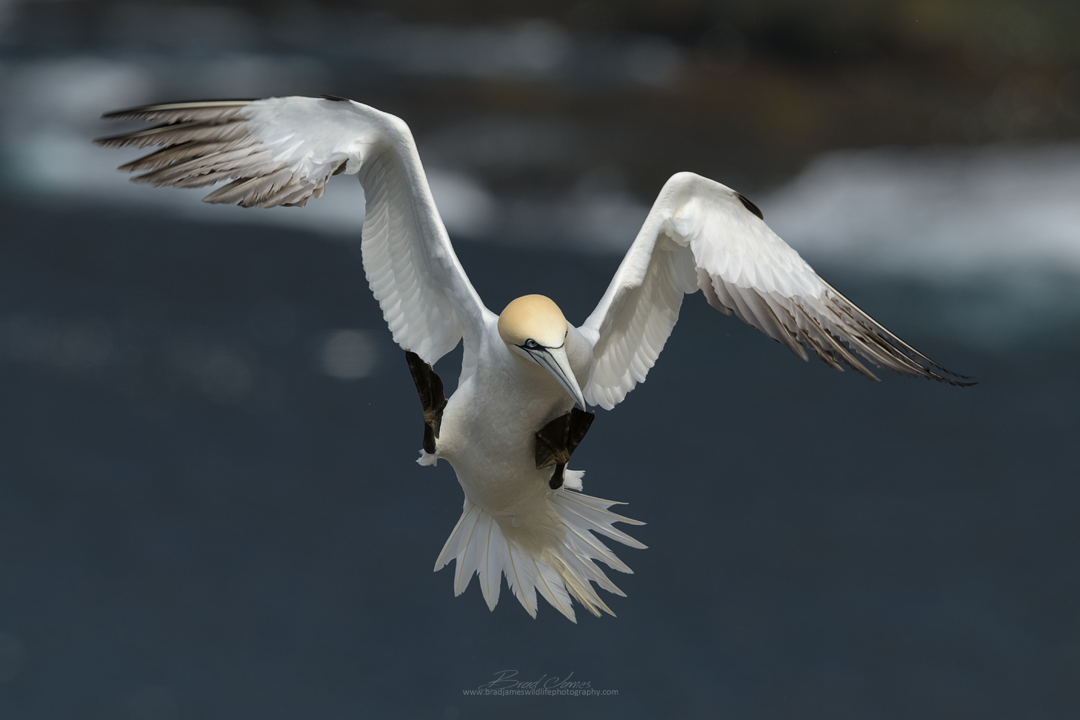 2018_NortherGannet_May_2.png