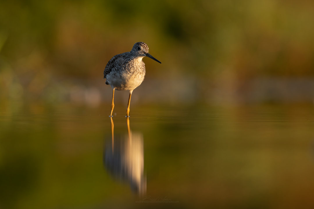 2018_YellowLegs_Aug_8.png