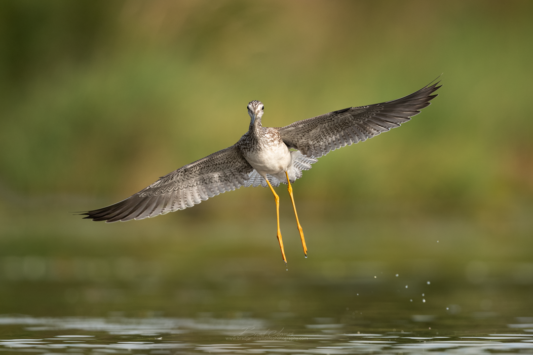 2018_YellowLegs_Aug_12.png