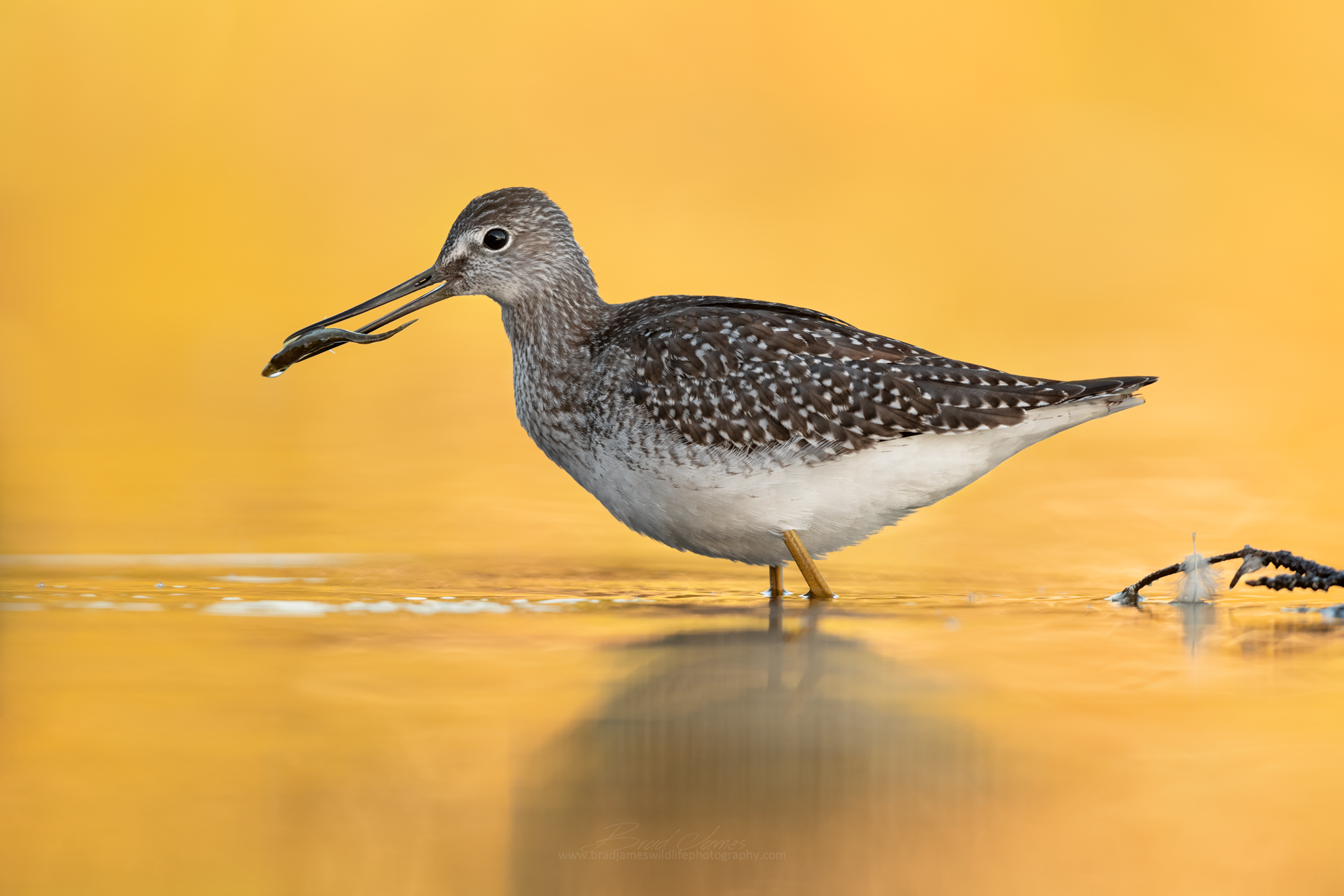 2018_YellowLegs_Sept_1_2048.png