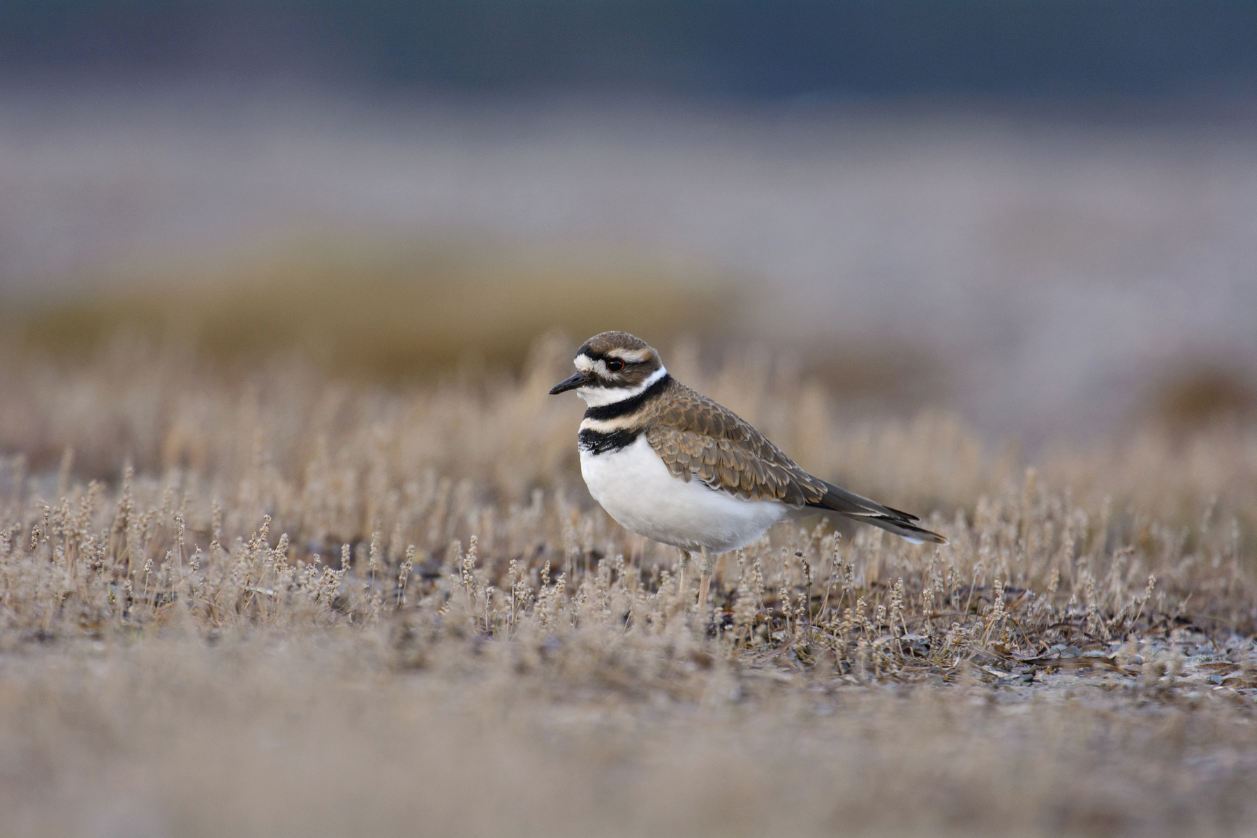 Killdeer1.jpg