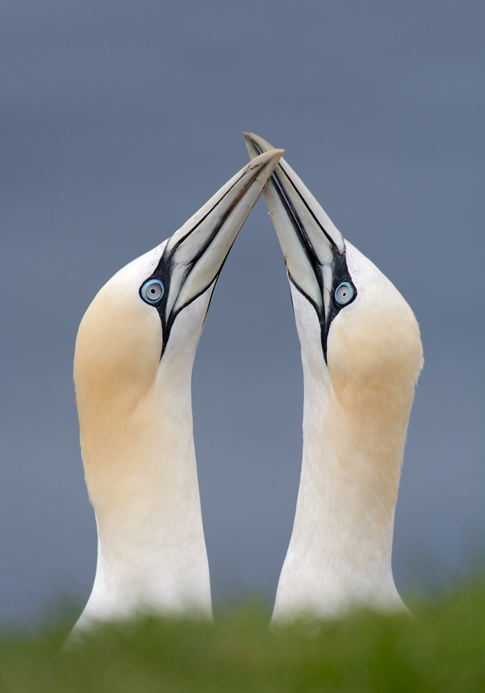 2014_NortherGannet_Junel_1small.jpg