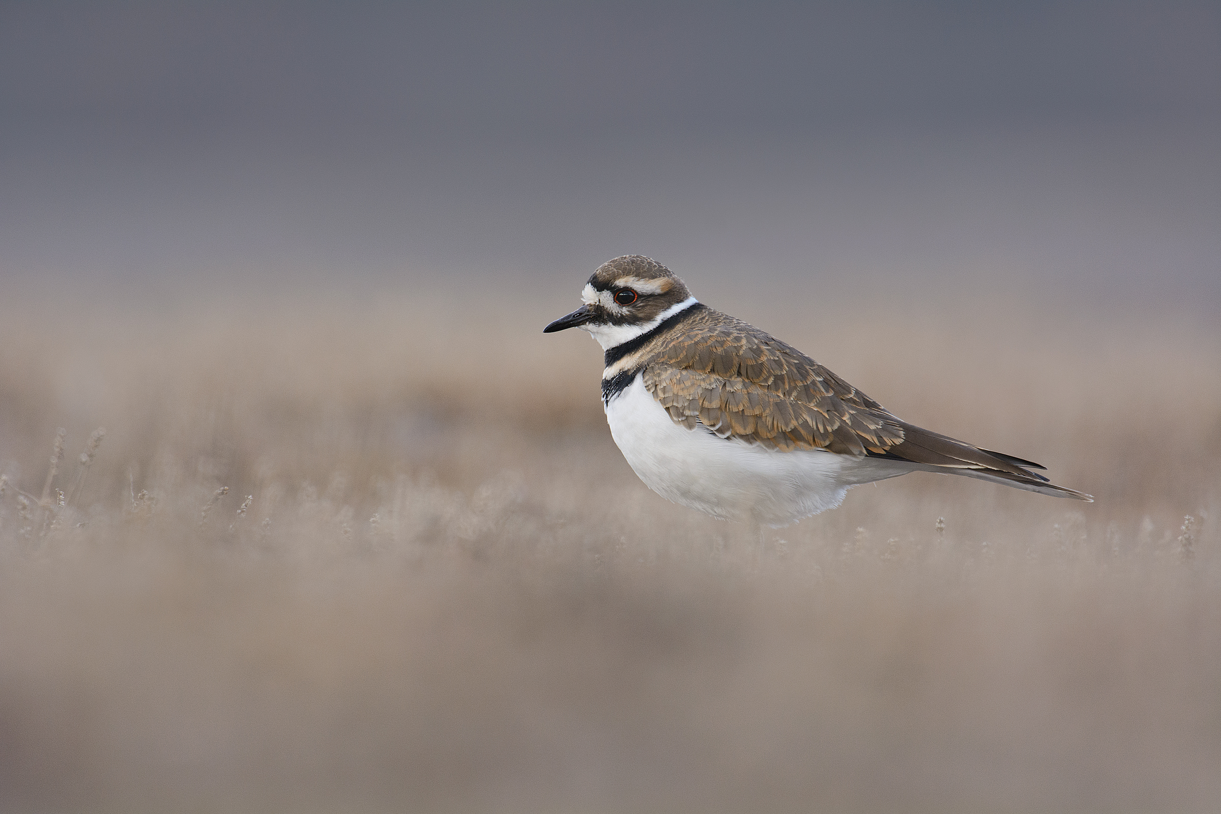 2013_KillDeer_Oct_2large.jpg