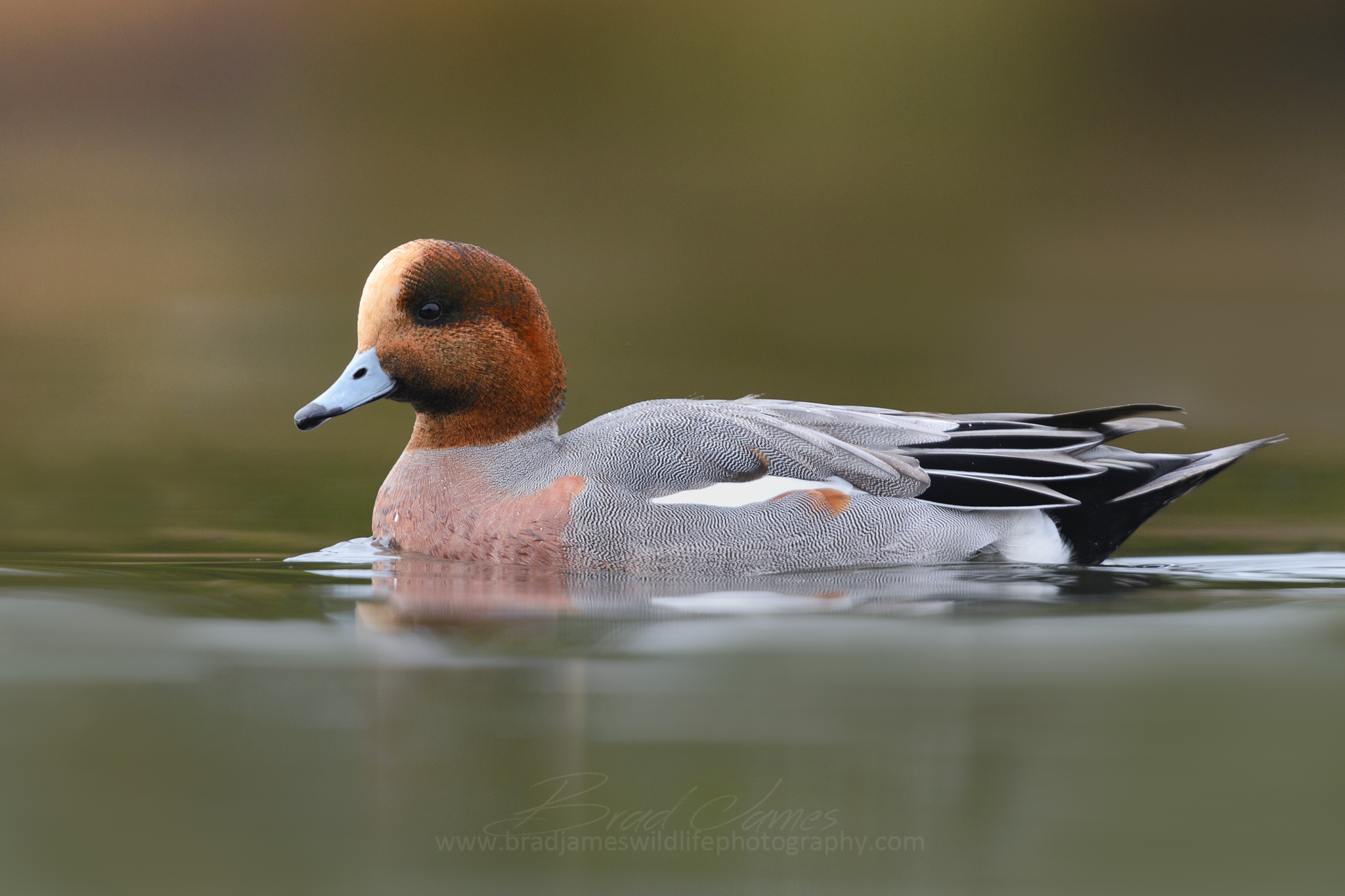 2016_EurasianWigeon_Nov_3a.png