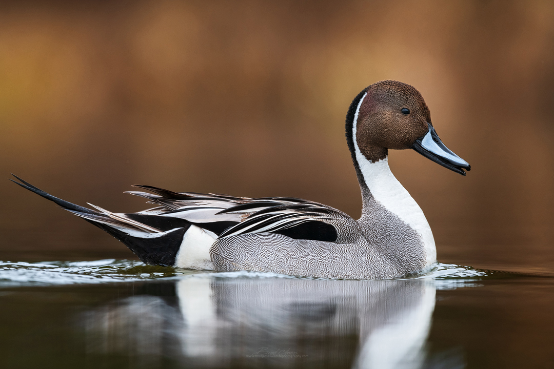 2019_NorthernPintail_April_3.jpg