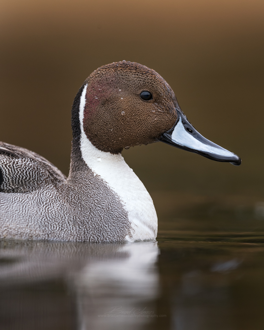 2019_NorthernPintail_April_4.jpg