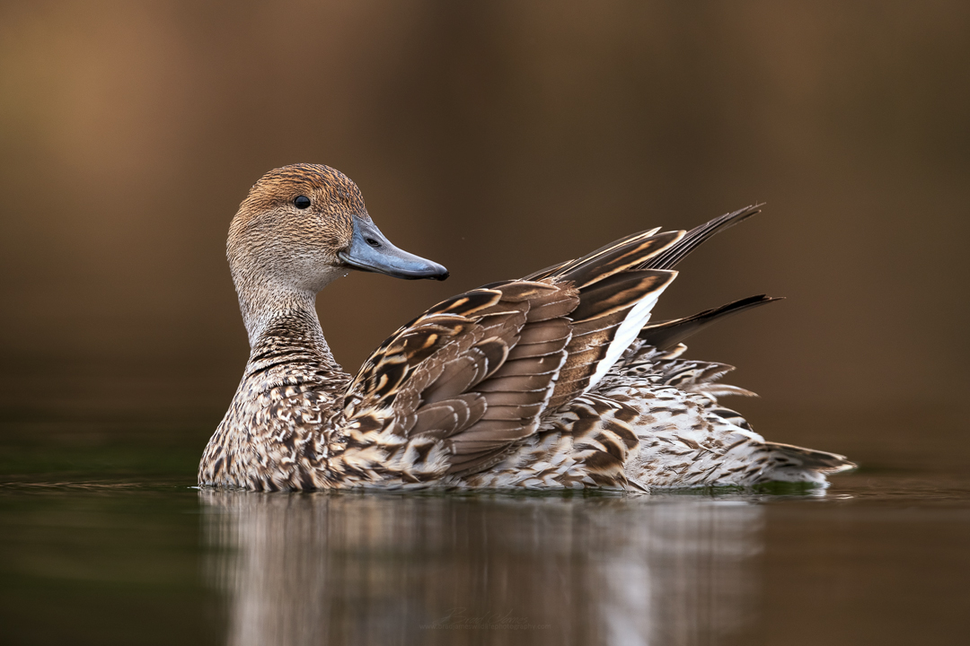 2019_NorthernPintail_April_6.jpg