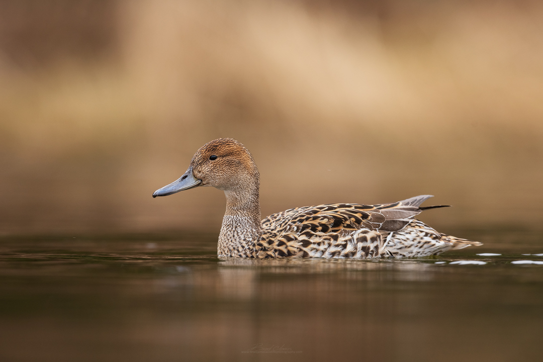 2019_NorthernPintail_April_5.jpg