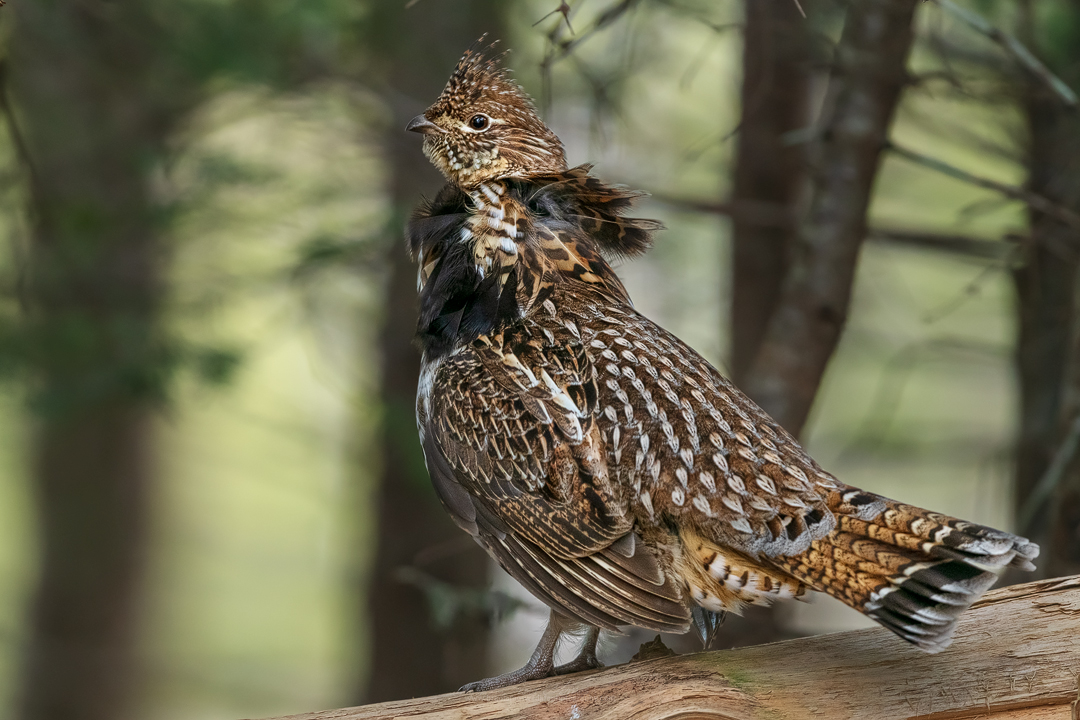 2019_RuffedGrouse_May_02.jpg