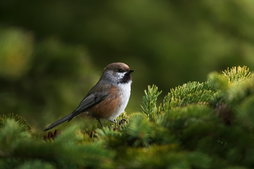 2019_BorealChickadee_May_2.jpg