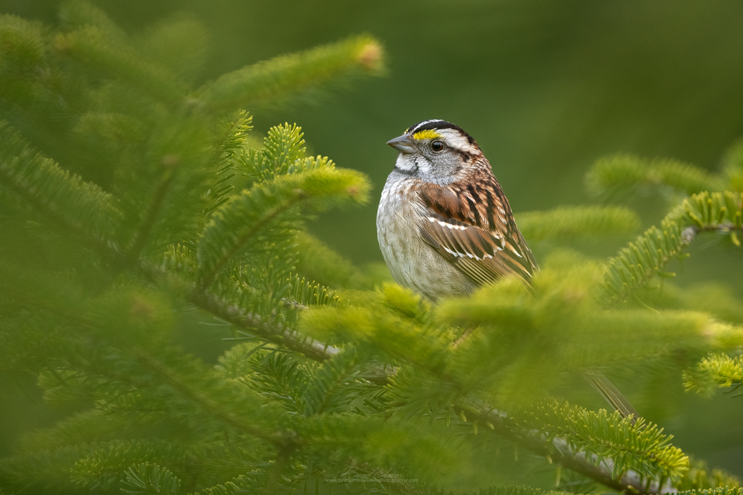 2019_WhiteThroatedSparrow_May_1.jpg