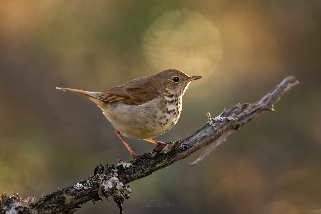 2019_HermitThrush_May_1.jpg