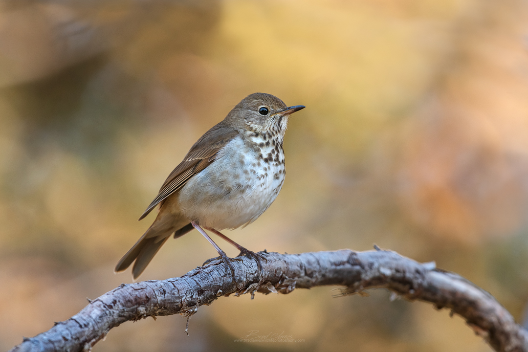 2019_HermitThrush_May_2.jpg