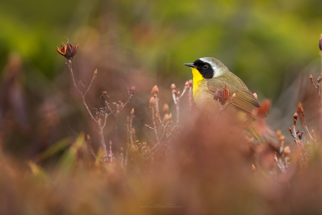 2019_CommonYellowThroat_June_3.jpg
