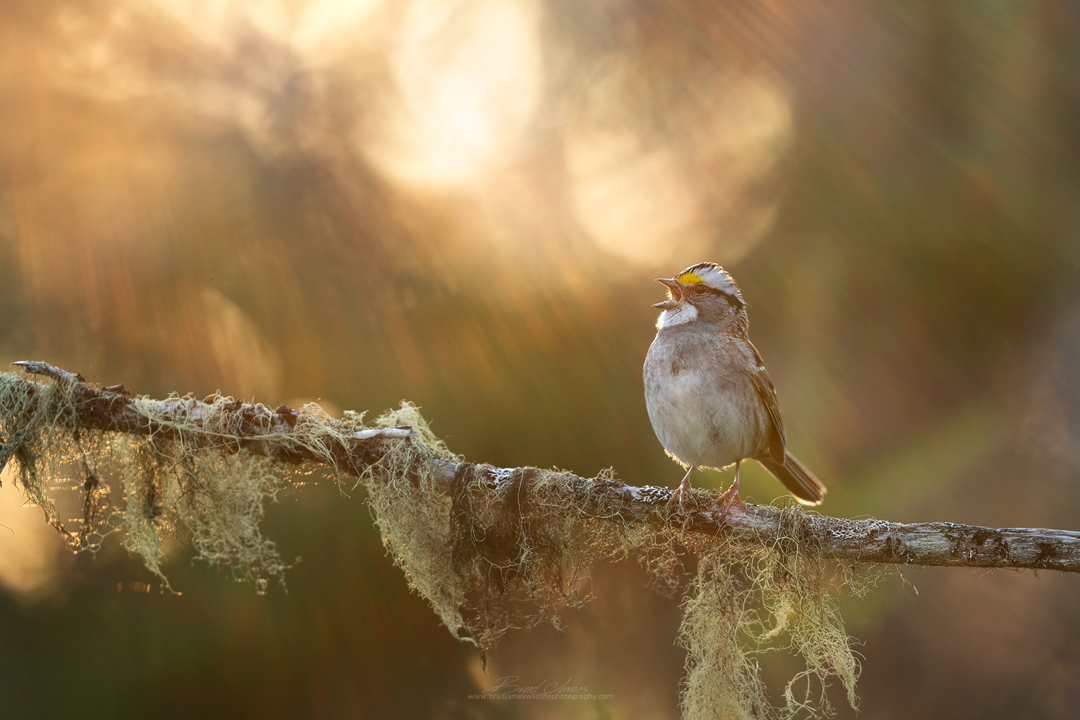 2019_WhiteThroatedSparrow_May_2.jpg